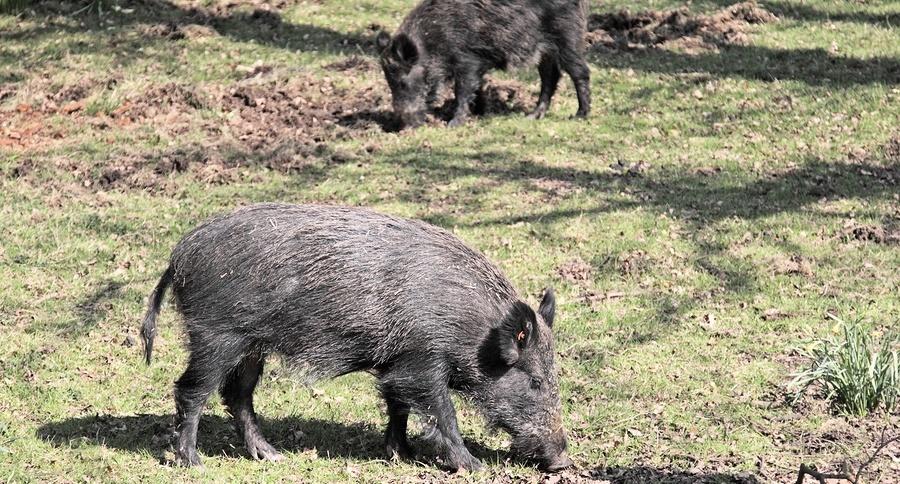 bigstock-Wild-Boar-8305493