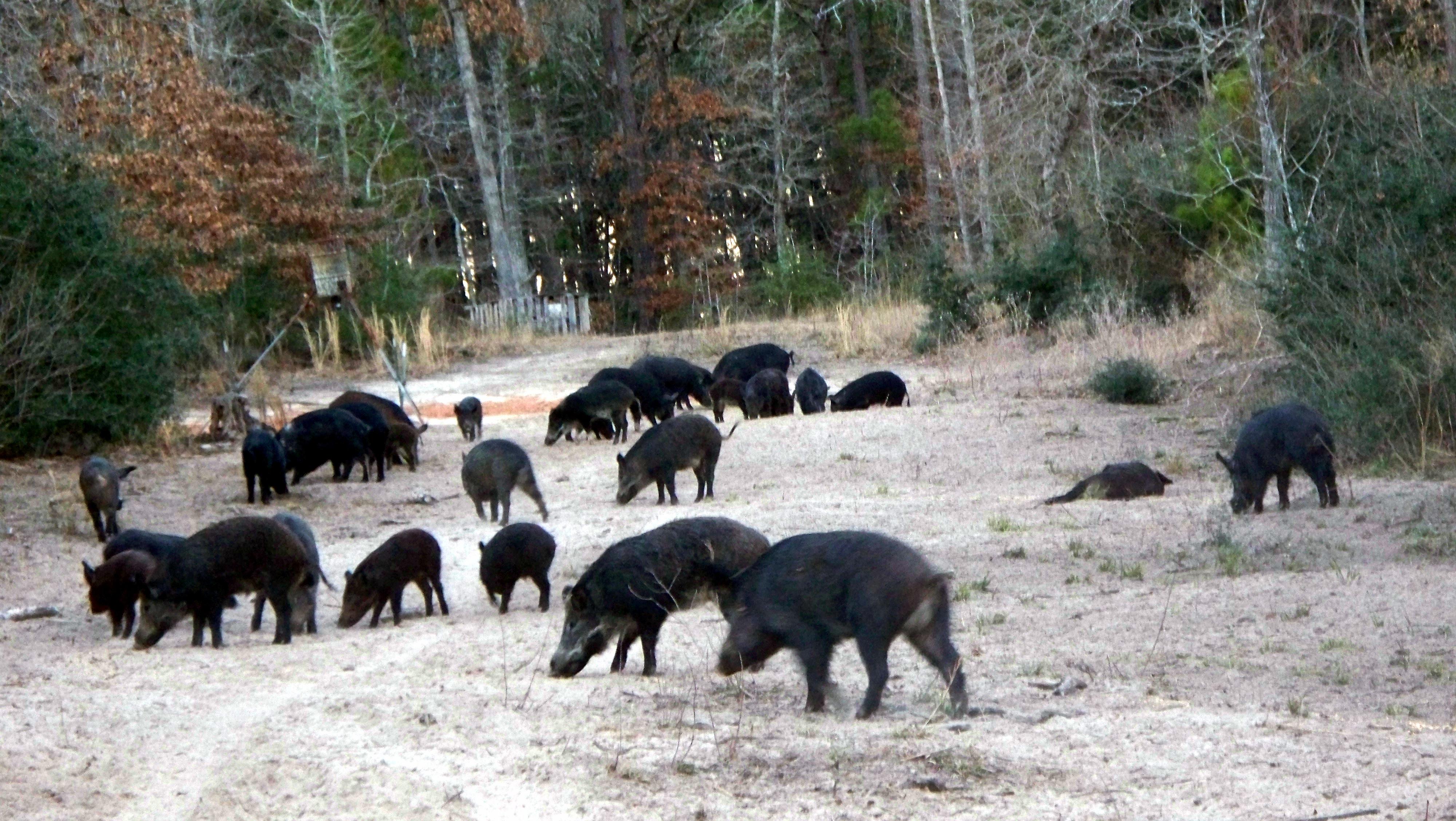 langley-ranch-hogs