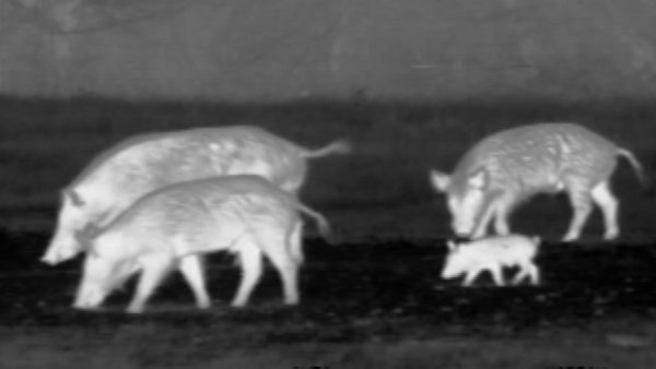 thermal hog hunt