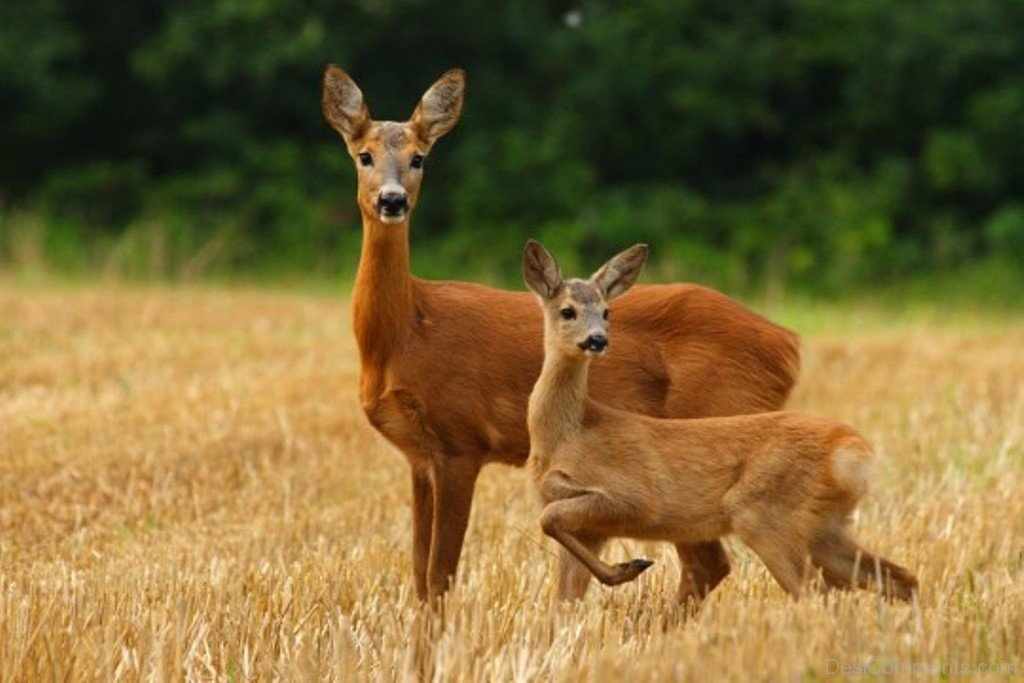 Red-Deer-With-Baby-db338